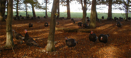 turkeys-in-woods06